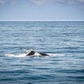 Whale Watching Brisbane