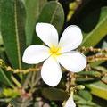 Frangipani in den Kimberley
