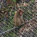 Japan-Makaken begegnen uns fast täglich.