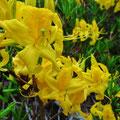 Jetzt blüht der gelbe Rhododendron, pontische Azzale, auf grossen Flächen.