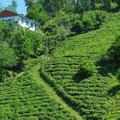 Nach Trabzon bis zur georgischen Grenze wird Tee für den überall in der Türkei getrunkenen Cay angebaut.
