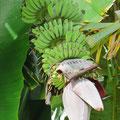 Die Blüte der Banane kann man als Gemüse essen - sehr fein!