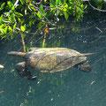 Wasserschildkröten sind auf Galapagos überall anzutreffen.