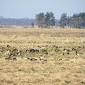 Hunderte Wildgänse beobachten und argwönisch.