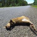 Leider sehen wir mehr tote als lebende Kängurus. Nachts an der Strasse grasende Tiere werden immer wieder überfahren. Bei grosser Hitze stinken die Kadaver dann zum Himmel.