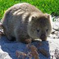Die knubbligen Wombats haben es uns besonders angetan.