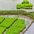 Reissetzlinge, sie werden einzeln von Hand in genauen Abständen gepflanzt.