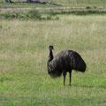 Nach Coles Bay sehen wir einen Emu. Die grossen Laufvögel sind scheu und nur selten zu beobachten.