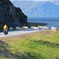 Rentiere flüchten panisch vor Radfahrern. Manchmal über Kilometer mitten auf der Strsse.