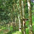 Hier fliesst die Milch der Bäume.