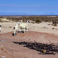 Zertrümmerte Bierflaschen. Wenig später laufen die Lamas durch die Scherben. Einmal mehr eine Riesensauerei!