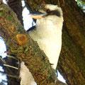 Dich und dein unverwechselbares Lachen werden wir bestimmt vermissen, lieber Kookaburra!