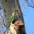 Freifliegende Papageien im Topkapipark