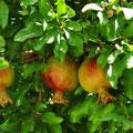 Granatäpfel reifen im Innengarten.