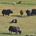 Eine Herde Jacks vor Sary-Tash.