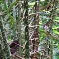 Stacheln gibt es im Regenwald fast überall.