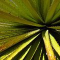 Die Blätter der Riesenbromelie - besser nicht berühren!
