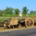 Rindvieh wird auf dem Land noch häufig zum Arbeiten eingesetzt.