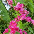 Die Wärme und grosse Luftfeuchtigkeit lassen die Pflanzen rasch und in einer Vielfalt wachsen - wir kommen aus dem Staunen nicht heraus.