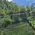Tee wird bis in steilste Lagen angebaut.