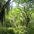 Wie ein Zauberwald, die Bäume mit den langen Flechten.