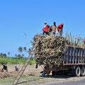 Zuckerrohr wird auf Lastwagen verladen.