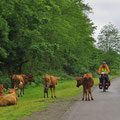 Kühe sind regelmässig auf der Strasse anzutreffen.