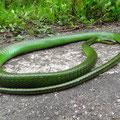 Ja, es gibt Schlangen hier. Ein besonders schönes Exemplar, fast einen Meter lang.