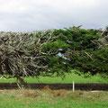 Die mächtigen Windschutzhecken bestehen aus grossen Nadelbäumen, die stark beschnitten werden.