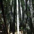 Bambushaine sind oft sehr dicht.