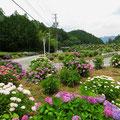 Zur Zeit blühen Hortensien an vielen Orten.