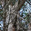 Der Kauz ist auf dem Baum fast nicht zu sehen.