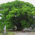 Der Baum ist 1000 Jahre alt.