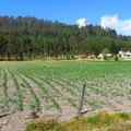 Auf 2600 m ü.M. werden Mais, Kartoffeln . . .