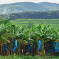 Täglich fahren wir durch weite Bananenplantagen.