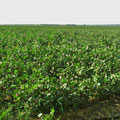 Baumwolle ist ein wichtiges Exportprodukt von Usbekistan.