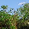 Tagsüber schlafen die Flughunde in den Bäumen.