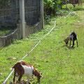 """Entlang der Strassen grasen Ziegen. Das Rohr dient als """"Laufband""""."""