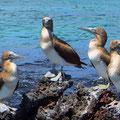 Die jungen Blaufusstölpel haben noch graubraune Beine.