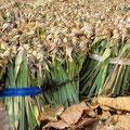Ananas-Stecklinge für eine neue Ernte.