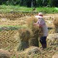 Reisstroh wird zu Garben gebunden. Das sehen wir nur noch sehr selten.