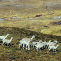 Den Alpakas sind wir Velofahrer nicht ganz geheuer.