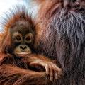 Junger Orang-Utan (Foto http://weissmuellers.weebly.com)
