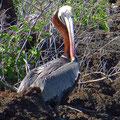 Galapagos Braunpelikan, er erbeutet als einziger Pelikan seine Beute tauchend.