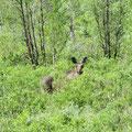 Erst mal beobachten ob Gefahr droht. Nach Minuten verschwindet der Elch im Gebüsch.