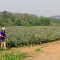 Hier reifen sie, die feinen, süssen Ananas!