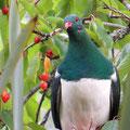 Ein farbiger Geselle (Kereru, Maorifruchttaube), dem wir sehr nah kommen dürfen.