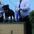 Club Show Bull type terrier BULLIADA, Zakroszym 13.07.2014, Ch.Sikaistaff dark Lord , Won the competition of the best movement !!!!!!!!! judge Kevin Jones (GB)