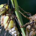 Libelle und Larvenhülle (Foto: Hans Werner Lehner)
