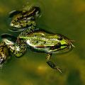 Frosch (Foto: Hans Werner Lehner)